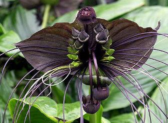 Tacca chantrieri, black bat plant, bat plant