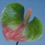 Anthurium Fantasy Love
