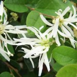 Loropetalum chinense white
