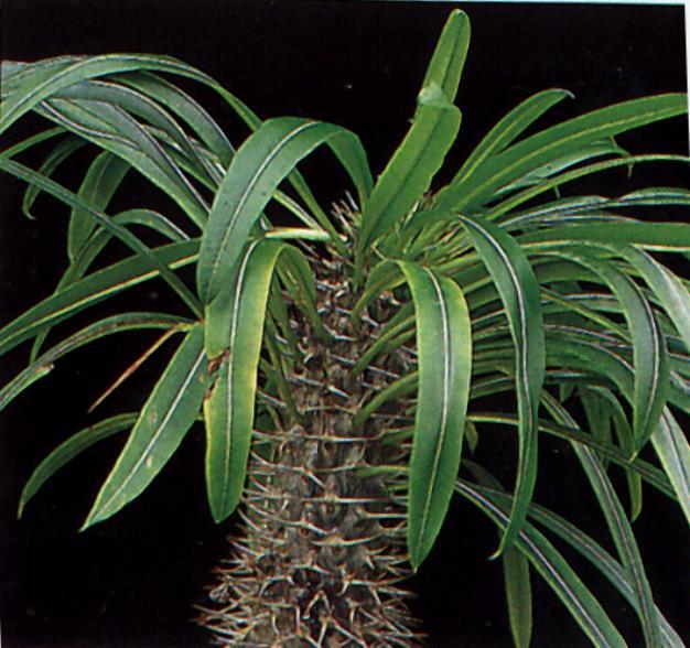 Pachypodium lamerii