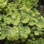 Adiantum tenerum Marshas Pride