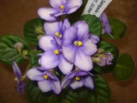 African Violet Opt Juliana