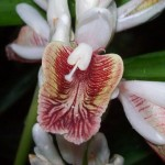 Alpinia galanga flower