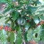 Coffea arabica coffee tree