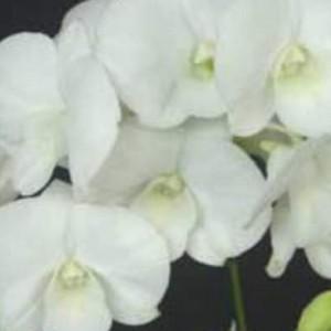 Dendrobium Airy White