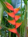 Heliconia bihai Hong Kong Claw