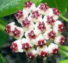 Hoya kerrii flowers