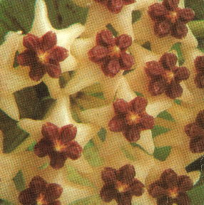 Hoya polyneura