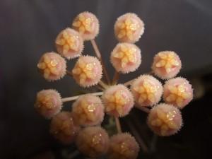 Hoya tsangii flowers
