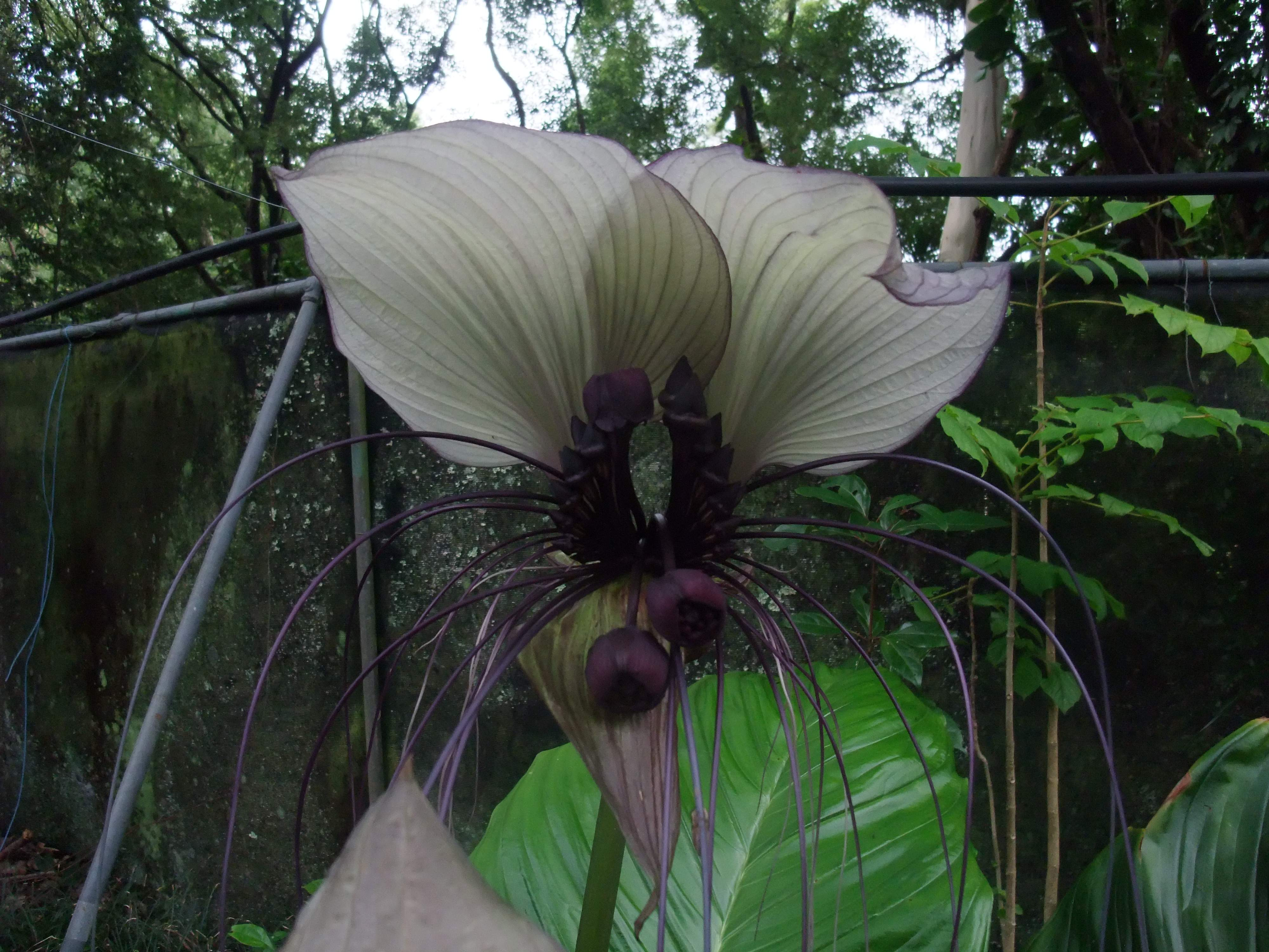 Tacca Integrifolia Giant White Bat Plant Rare Plants