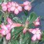 Adenium obesum 'Pink'
