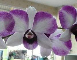 Dendrobium Victoria