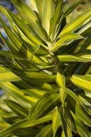 Dracaena reflexa aureo variegata