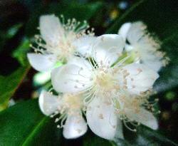 Eugenia brasiliensis flower