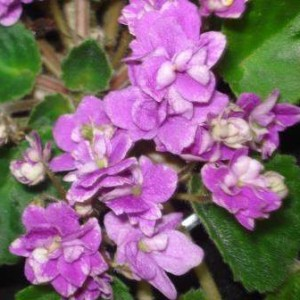 African Violet Bonnie Ross