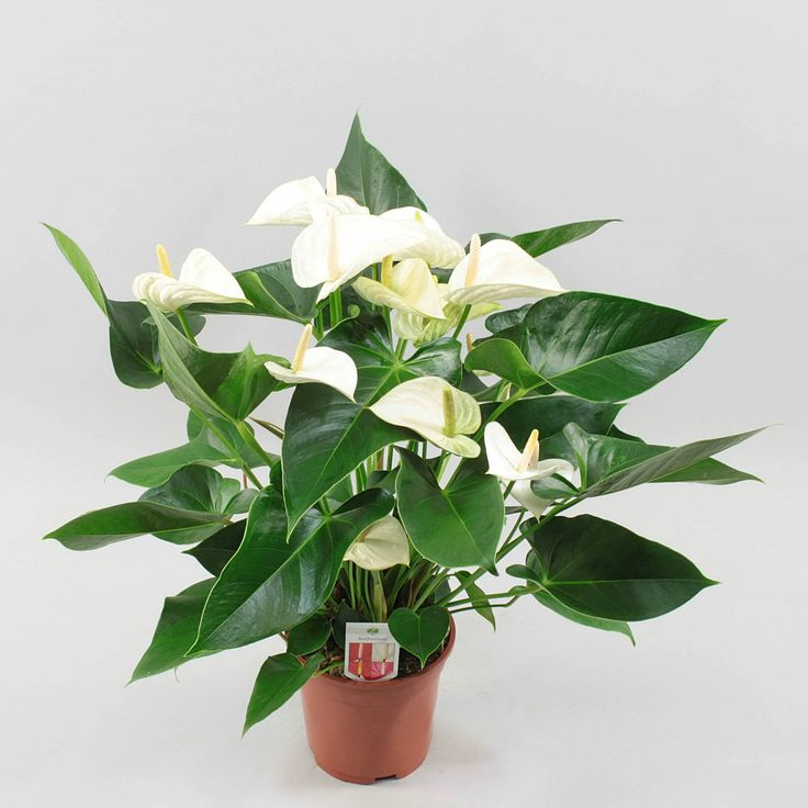 Anthurium White Winner