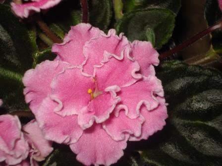 African Violet Emrose