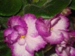 African Violet Okie Easter Bunny