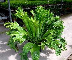 Asplenium australisicum 'Broad Crested'