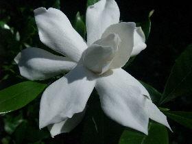 Gardenia augusta 'Radicans'