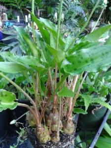 Scilla ovalifolia