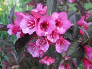 Weigela florida 'Foliis purpureis'