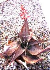 Aloe deltiodeodonta