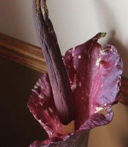 Amorphophallus konjac