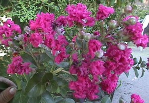 Lagerstroemia 'Little Chief'
