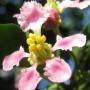 Malphigia glabra flower