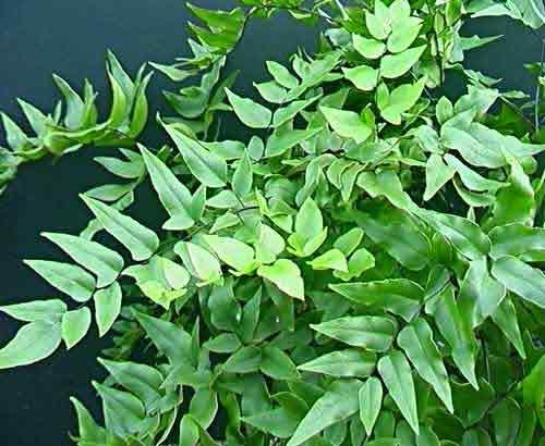 pellaea macrophylla