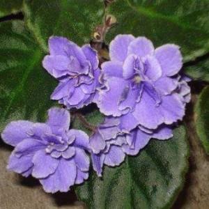 African Violet Wavy Navy