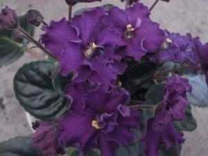 African Violet Repeat Performance