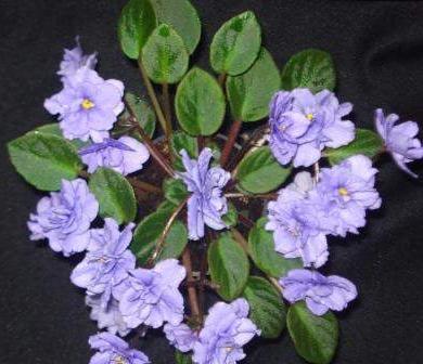 African Violet Everdina