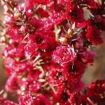 Leptospermum scoparium 'Burgundy Queen'