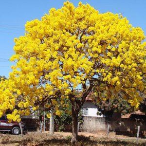 Tabebuia argentia