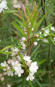 Austromyrtus tenuifolia 'Copper Tops'