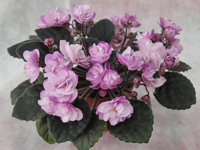 African Violet Ness Satin Rose