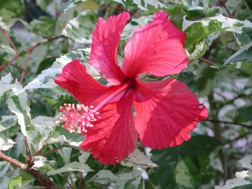 Hibiscus rosa-sinensis 'Snowflake'