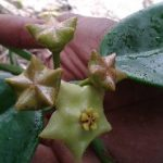 Hoya PNG New Star Backwards Cluster