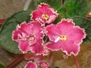 African Violet Cherries and Cream