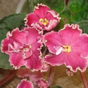 African Violet Cherries n Cream