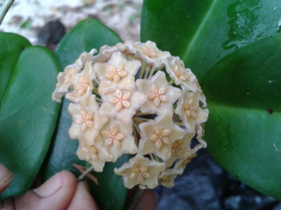 Hoya dischorensis
