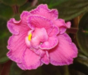 African Violet Ode to Beauty