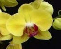Phalaenopsis Golden Star