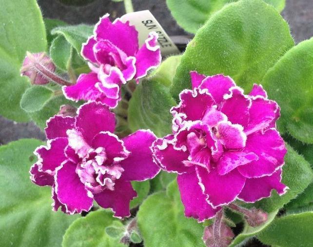 African Violet Sun Sizzle