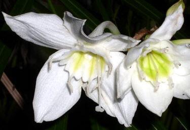 Eucharis x grandiflora