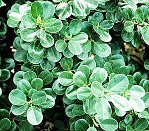 Ficus microcarpa 'Green Island'