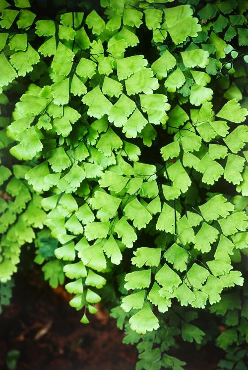 Image result for adiantum aethiopicum