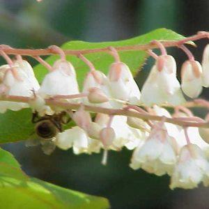 Clethra arborea flower
